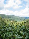 Πράσινα φύλλα τσαγιού στη φυτεία τσαγιού στοκ εικόνα