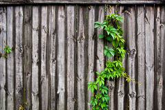 Πράσινα φύλλα των άγριων σταφυλιών στο εκλεκτής ποιότητας ξύλινο πνεύμα υποβάθρου Στοκ Εικόνα