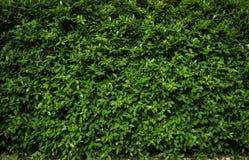Πράσινα φύλλα υποβάθρου Στοκ φωτογραφίες με δικαίωμα ελεύθερης χρήσης