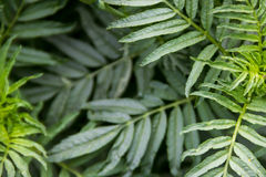 Πράσινα φύλλα υποβάθρου marigolds Στοκ εικόνες με δικαίωμα ελεύθερης χρήσης