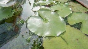 Πράσινα φύλλα λωτού στο νερό Στοκ Φωτογραφίες