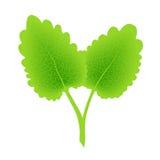 πράσινα φύλλα δύο Στοκ εικόνα με δικαίωμα ελεύθερης χρήσης