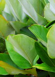 πράσινα φύλλα Στοκ φωτογραφία με δικαίωμα ελεύθερης χρήσης