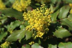 Πράσινα φύλλα aquifolium Mahonia και κίτρινα λουλούδια Στοκ Εικόνες
