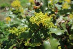 Πράσινα φύλλα aquifolium Mahonia και κίτρινα λουλούδια Στοκ φωτογραφία με δικαίωμα ελεύθερης χρήσης