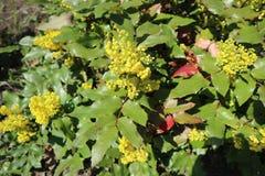 Πράσινα φύλλα aquifolium Mahonia και κίτρινα λουλούδια Στοκ εικόνα με δικαίωμα ελεύθερης χρήσης