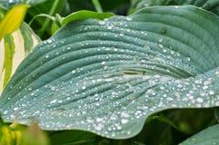 Πράσινα φύλλα Khosta στοκ εικόνα με δικαίωμα ελεύθερης χρήσης