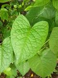 πράσινα φύλλα leptopus antigonon στον κήπο φύσης Στοκ Εικόνες