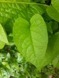πράσινα φύλλα leptopus antigonon στον κήπο φύσης Στοκ Φωτογραφία