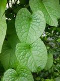Πράσινα φύλλα leptopus antigonon Στοκ φωτογραφία με δικαίωμα ελεύθερης χρήσης
