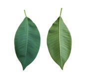 Πράσινα φύλλα Plumeria των τροπικών δέντρων στην Ταϊλάνδη Στοκ Φωτογραφίες
