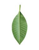 Πράσινα φύλλα Plumeria των τροπικών δέντρων στην Ταϊλάνδη Στοκ φωτογραφία με δικαίωμα ελεύθερης χρήσης