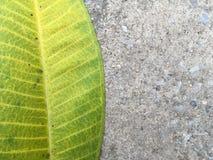 Πράσινα φύλλα plumeria Στοκ Εικόνες