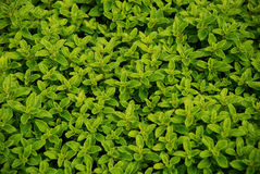 πράσινα χορτάρια Στοκ Εικόνες