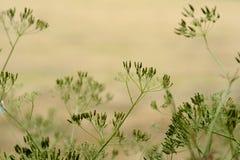 Πράσινα χρωματισμένα λουλούδια - umbelliferous apiaceae σε ένα θολωμένο μπεζ υπόβαθρο Στοκ εικόνα με δικαίωμα ελεύθερης χρήσης