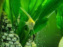 Πράσινα ψάρια στο ενυδρείο στοκ εικόνα