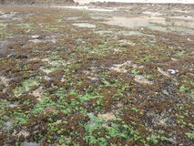 Πράσινα ψάρια φύσης βράχου παραλιών Στοκ Εικόνα