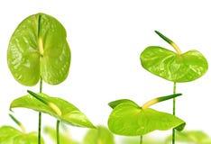 Πράσινα Anthurium λουλούδια Στοκ φωτογραφία με δικαίωμα ελεύθερης χρήσης