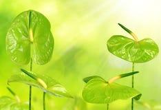 Πράσινα Anthurium λουλούδια Στοκ εικόνα με δικαίωμα ελεύθερης χρήσης