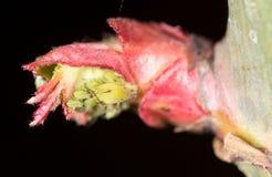 Πράσινα aphids σε ένα κόκκινο φύλλο στη φύση Μακροεντολή Στοκ Εικόνες