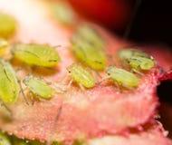 Πράσινα aphids σε ένα κόκκινο φύλλο στη φύση Μακροεντολή Στοκ Φωτογραφία