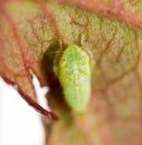 Πράσινα aphids σε ένα φύλλο Μακροεντολή Στοκ εικόνες με δικαίωμα ελεύθερης χρήσης