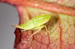 Πράσινα aphids σε ένα φύλλο Μακροεντολή Στοκ Εικόνα