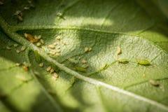 Πράσινα aphids Στοκ φωτογραφίες με δικαίωμα ελεύθερης χρήσης