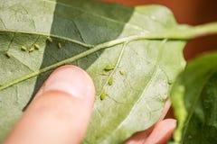 Πράσινα aphids Στοκ Φωτογραφίες