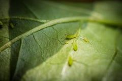Πράσινα aphids Στοκ Εικόνες