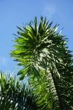 πράσινα areca φύλλα catechu στον κήπο φύσης Στοκ φωτογραφία με δικαίωμα ελεύθερης χρήσης