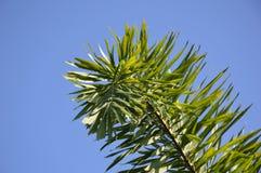 πράσινα areca φύλλα catechu στον κήπο φύσης Στοκ εικόνες με δικαίωμα ελεύθερης χρήσης