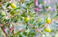 Πράσινα argan καρύδια στον κλάδο δέντρων Κλείστε επάνω στο καρύδι Στοκ φωτογραφίες με δικαίωμα ελεύθερης χρήσης