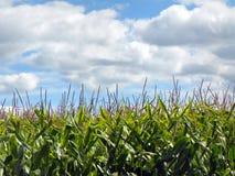 Πράσινα cornstalks με τους θυσάνους ενάντια στον μπλε θερινό ουρανό Στοκ φωτογραφία με δικαίωμα ελεύθερης χρήσης