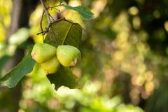 Πράσινα cubs μήλων δίπλα στους κλάδους στο δέντρο στοκ εικόνες