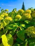 Πράσινα hydrangeas με το δονούμενο μπλε ουρανό στοκ φωτογραφία με δικαίωμα ελεύθερης χρήσης