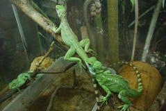 Πράσινα iguanas που σέρνονται κατά μήκος των κορμών του δέντρου που τοποθετούνται σε τους Όμορφα ερπετά με τις ριγωτές ουρές στοκ εικόνα με δικαίωμα ελεύθερης χρήσης