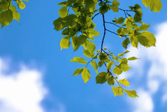 Πράσινα juicy φύλλα στο μπλε ουρανό Στοκ Εικόνα