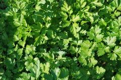 Πράσινα laves του μαϊντανού Χαρασμένα φύλλα στοκ φωτογραφία