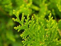 πράσινα leafes Στοκ Εικόνα