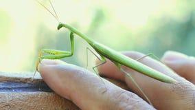 Πράσινα mantis κινηματογραφήσεων σε πρώτο πλάνο που περπατούν σε ετοιμότητα ατόμων φιλμ μικρού μήκους