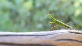 Πράσινα mantis κινηματογραφήσεων σε πρώτο πλάνο που περπατούν στο πράσινο κλίμα bokeh απόθεμα βίντεο