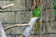 Πράσινα millitaris ara παπαγάλων που κάθονται σε έναν κλάδο ενός δέντρου Στοκ Εικόνες