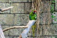 Πράσινα millitaris ara παπαγάλων που κάθονται σε έναν κλάδο ενός δέντρου Στοκ Εικόνα