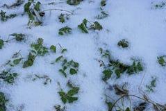 Πράσινα nettle φύλλα στο άσπρο χιόνι σε ένα πάρκο στοκ φωτογραφία με δικαίωμα ελεύθερης χρήσης