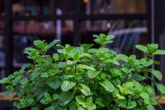 Πράσινα peppermint φύλλα Στοκ Εικόνα