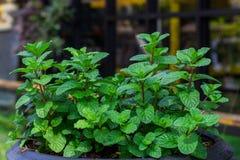 Πράσινα peppermint φύλλα Στοκ εικόνα με δικαίωμα ελεύθερης χρήσης