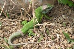 πράσινα viridis σαυρών lacerta Στοκ φωτογραφία με δικαίωμα ελεύθερης χρήσης
