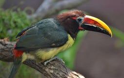Πράσινα viridis Aracari Pteroglossus Στοκ Εικόνα