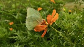 Πράσινες άγριες πεταλούδες που σκαρφαλώνουν στα πορτοκαλιά λουλούδια στοκ εικόνα με δικαίωμα ελεύθερης χρήσης